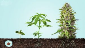 Learn How to Grow Cannabis at Home: A Beginners Guide to Growing Marijuana from Seed to Flower
