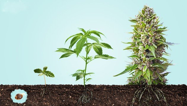 Read more about the article Learn How to Grow Cannabis at Home: A Beginners Guide to Growing Marijuana from Seed to Flower